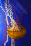 Pacific Sea Nettle Marine Life, Oregon Coast Aquarium, Newport, Oregon, USA Photographic Print by Rick A. Brown