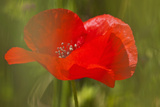 Poppy Flower in Spring Bloom, Tuscany, Italy Photographic Print by Terry Eggers
