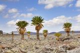 Giant Loebelia, Bale Mountains, Sanetti Plateau, Ethiopia Photographic Print by Martin Zwick