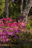 Azalea Flowers, Edgewater Landings, Florida, USA Photographic Print by Lisa S. Engelbrecht