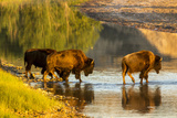 Bison Wildlife Crossing Little Missouri River, Theodore Roosevelt National Park, North Dakota, USA Stampa fotografica di Chuck Haney