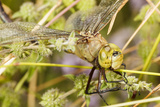 Batteres Male Common Green Darner Insect, Freeway Ponds Park, Albany, Oregon, USA Photographic Print by Rick A. Brown