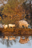 The Pigs of Maliuc, Animals, Danube Delta, Ramsar, Romania Photographic Print by Martin Zwick