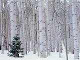 Aspen and Douglas Fir, Manti-Lasal National Forest, La Sal Mountains, Utah, USA Fotografisk trykk av Scott T. Smith