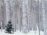 Aspen and Douglas Fir, Manti-Lasal National Forest, La Sal Mountains, Utah, USA Fotoprint van Scott T. Smith