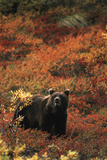 Grizzly Bear, Denali National Park and Preserve, Alaska, USA Photographic Print by Hugh Rose