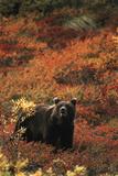 Grizzly Bear, Denali National Park and Preserve, Alaska, USA Photographic Print by Hugh Rose