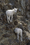 Dall Sheep, Dall Lamb, Lamb, Denali National Park, Alaska, USA Photographic Print by Gerry Reynolds