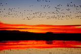 Waterfowl on Roost, Bosque Del Apache National Wildlife Refuge, New Mexico, USA Photographic Print by Larry Ditto