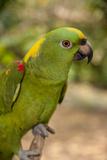 Tropical Bird, Roatan Butterfly Garden, Yellow Crowned Parrot, Honduras Stampa fotografica di Jim Engelbrecht