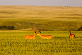 Whitetail Deer Wildlife in Wheat Field Near Glasgow, Montana, USA Photographic Print by Chuck Haney