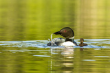 Female Common Loon Bird with Newborn Chick on Beaver Lake, Whitefish, Montana, USA Stampa fotografica di Chuck Haney