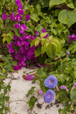 Morning Glory and Bougainvillea Flowers, Princess Cays, Eleuthera, Bahamas Photographic Print by Lisa S. Engelbrecht