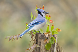 Blue Jay Bird, Adults on Log with Acorns, Autumn, Texas, USA Reproduction photographique par Larry Ditto
