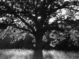 White Oak Tree, Great Smoky Mountains National Park, Cades Cove, Tennessee, USA Reproduction photographique par Adam Jones