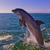 Dolphin Leaping from Sea, Roatan Island, Honduras Photographic Print by Keren Su