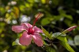 Hibiscus Flower, Roatan, Honduras Photographic Print by Jim Engelbrecht