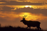 Sunset, Tule Elk Wildlife, Point Reyes National Seashore, California, USA Photographie par Gerry Reynolds