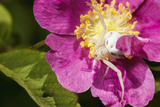Goldenrod Crab Spider, Freeway Ponds Park, Albany, Oregon, USA Photographic Print by Rick A. Brown