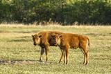 Wildlife, Bison Calves in Theodore Roosevelt National Park, North Dakota, USA Photographic Print by Chuck Haney