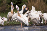 Great White Pelican, Lake Chamo, Nechisar National Park, Arba Minch, Ethiopia Photographic Print by Martin Zwick