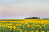 Amtrak Train Passes by Field of Sunflowers in Michigan, North Dakota, USA Photographic Print by Chuck Haney