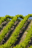 Rolling Vineyards in the Yakima County, Washington, USA Photographic Print by Terry Eggers