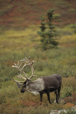 Bull Caribou Wildlife, Denali National Park, Alaska, USA Photographic Print by Gerry Reynolds