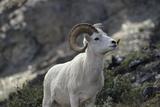 Dall Sheep, Dall Ram, Wildlife, Denali National Park, Alaska, USA Photographic Print by Gerry Reynolds