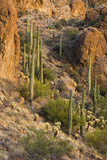 Saguaro National Park, Tucson, Arizona, USA Photographic Print by Peter Hawkins