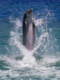 Dolphin Standing Above Water, Roatan Island, Honduras Photographic Print by Keren Su