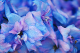 Hydrangea Flower Blooms, Sequim, Washington, USA Photographic Print by Terry Eggers