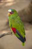 White Fronted Amazon Parrot, Roatan Butterfly Garden, Tropical Bird, Honduras Stampa fotografica di Jim Engelbrecht