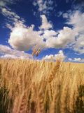 View of Wheat Field, Palouse, Washington State, USA Photographie par Stuart Westmorland