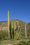 Organ Pipe Cactus National Monument, Ajo, Arizona, USA Photographic Print by Peter Hawkins