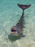 Dolphin in the Ocean, Roatan Island, Honduras Stampa fotografica di Keren Su