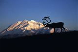 Caribou Wildlife, Mt McKinley, Denali National Park and Preserve, Alaska, USA Photographic Print by Hugh Rose