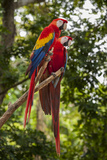 Roatan Butterfly Garden, Scarlet Macaw, Parrot, Tropical Bird, Honduras Stampa fotografica di Jim Engelbrecht