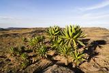 Giant Loebelia, Bale Mountains, Ethiopia Photographic Print by Martin Zwick