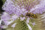 American Hoverfly Insect on Teasel, Freeway Ponds Park, Albany, Oregon, USA Photographic Print by Rick A. Brown