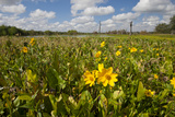 Wetland Sunflowers, Emergent Aquatic Flora, Brazos Bend State Park Marsh, Texas, USA Photographic Print by Larry Ditto