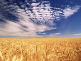 Clouds over Wheat Field Agriculture Photographic Print by Stuart Westmorland