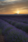 Lavender Field Just before Dawn Near Valensole, Provence, France Photographic Print by Brian Jannsen