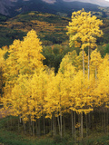 View of Autumn Aspen Grove on Mountain, Telluride, Colorado, USA Photographic Print by Stuart Westmorland