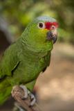 Roatan Butterfly Garden, Red Lored Parrot, Tropical Bird, Honduras Lámina fotográfica por Jim Engelbrecht