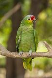 Roatan Butterfly Garden, Red Lored Parrot, Tropical Bird, Honduras Stampa fotografica di Jim Engelbrecht