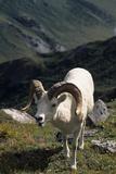 Dall Sheep, Dall Ram, Wildlife, Denali National Park, Alaska, USA Fotoprint van Gerry Reynolds