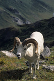 Dall Sheep, Dall Ram, Wildlife, Denali National Park, Alaska, USA Photographic Print by Gerry Reynolds