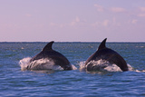 Dolphins Leaping from Sea, Roatan Island, Honduras Photographic Print by Keren Su