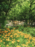Trees and Daylily Along Little Pigeon River, Great Smoky Mountains National Park, Tennessee, USA Photographic Print by Adam Jones
